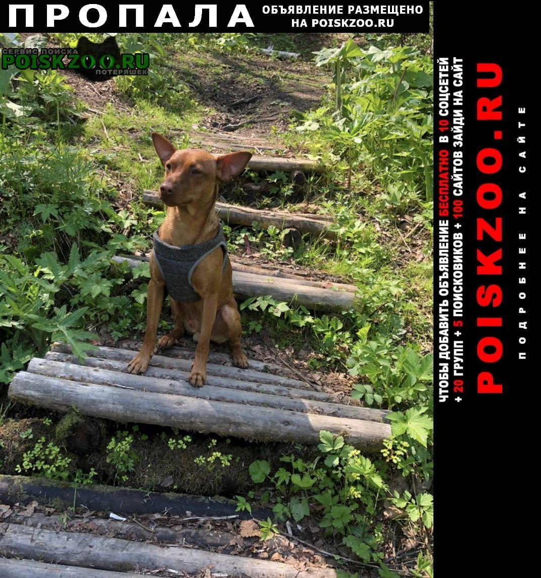 Пропала собака пинчер-метис родли Южно-Сахалинск