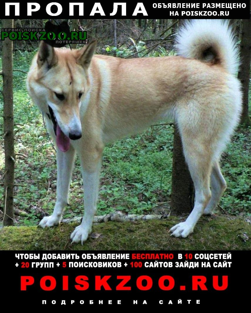 Пропала собака убежала лайка западно - сибирская Истра
