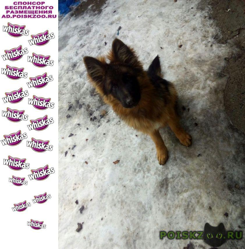 Пропала собака кобель немецкой овчарки г.Тюмень