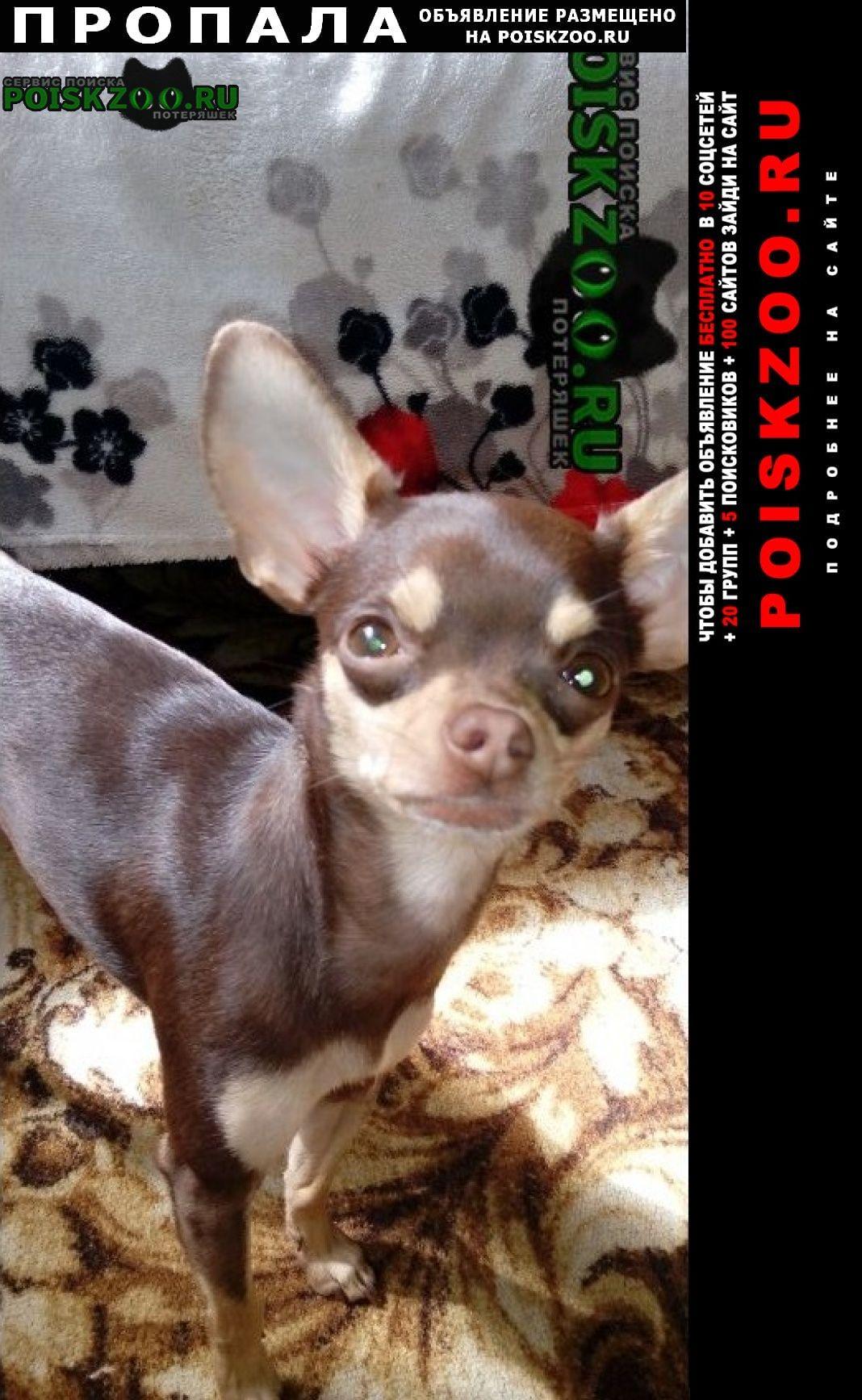 Пропала собака потерялась тойчик шоколадного цвета г.Краснодар