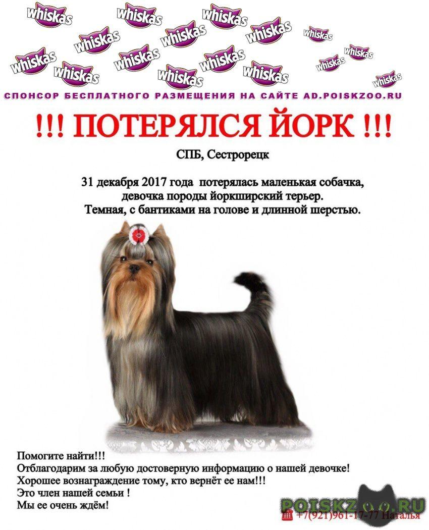 Пропала собака девочка, 31, 12, 2017 г.Сестрорецк