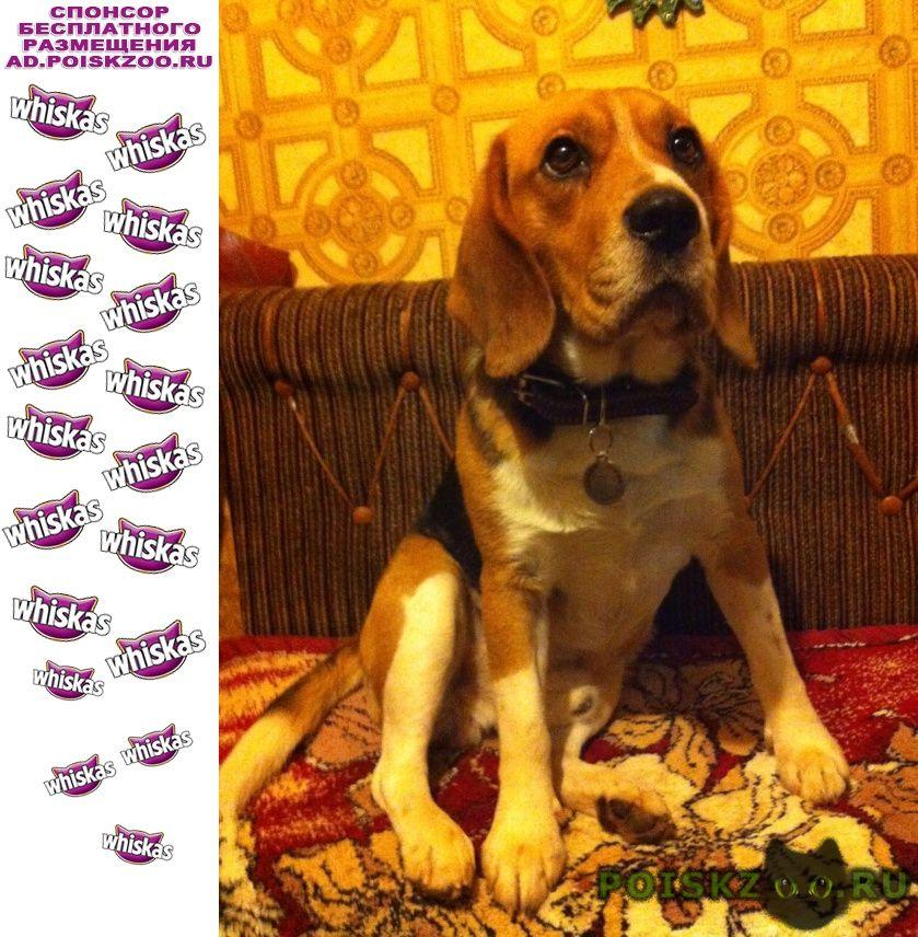 Пропала собака кобель, бигль, 4 года г.Обнинск