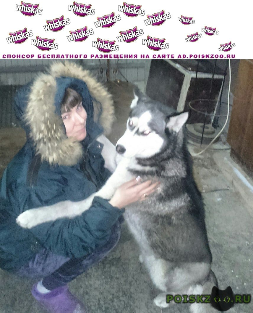 Пропала собака хаски 9.01  г.Омск