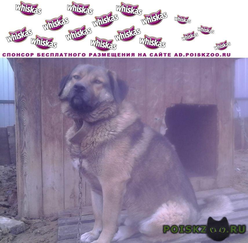 Пропала собака кобель метис кавказской овчарки г.Щелково