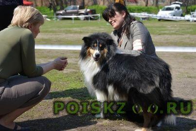 Пропала собака кобель колли длинношерстный г.Ростов-на-Дону