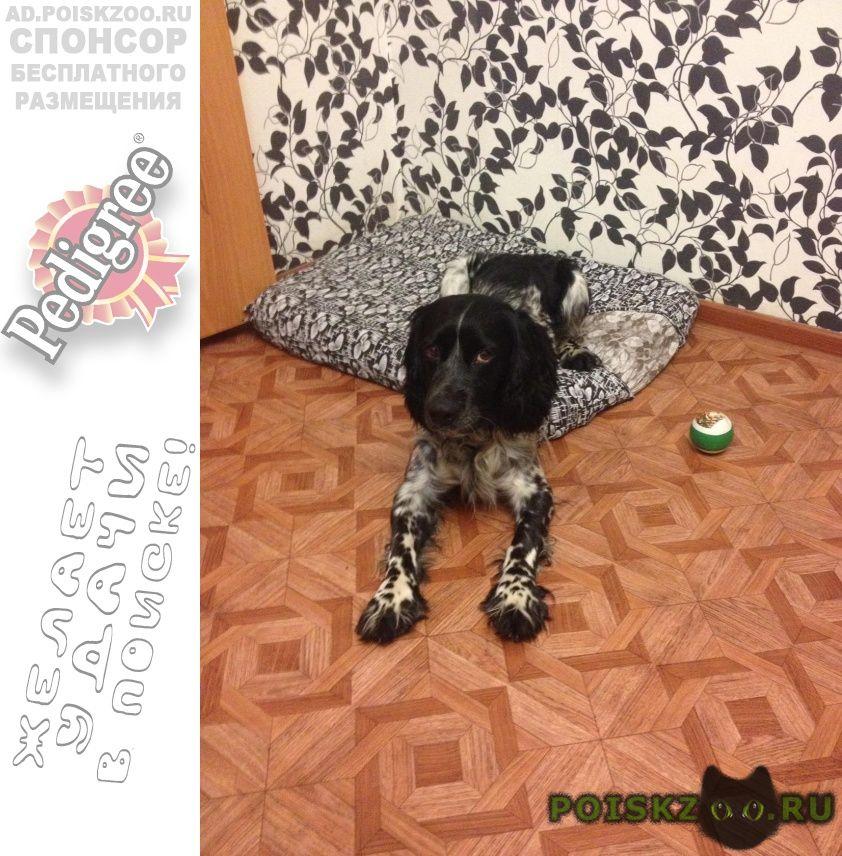 Пропала собака кобель пес, русский спаниель. г.Челябинск
