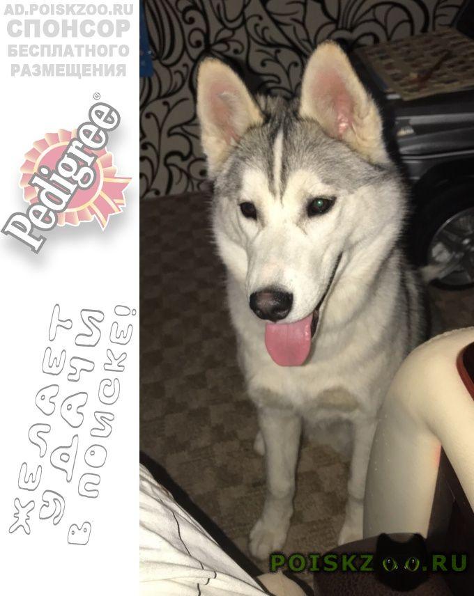 Пропала собака кобель породы сибирский хаски г.Саратов