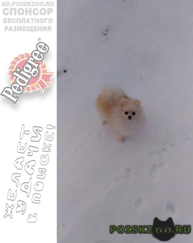 Пропала собака девочка немецкий шпиц г.Дмитров