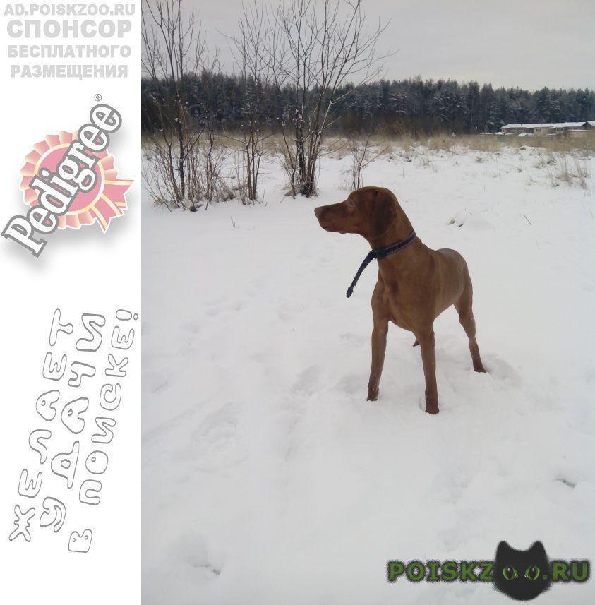 Пропала собака кобель венгерская выжла всевложский р-н ло г.Санкт-Петербург