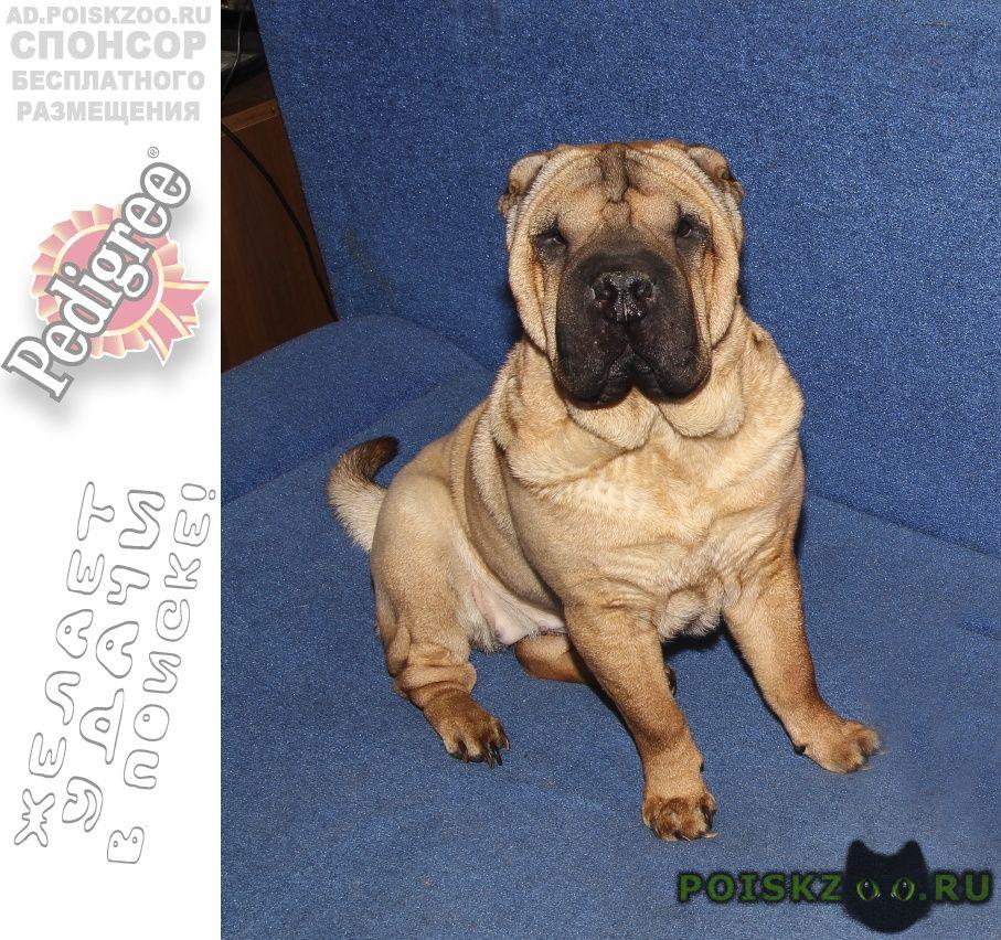 Пропала собака девочка-шарпей г.Иркутск