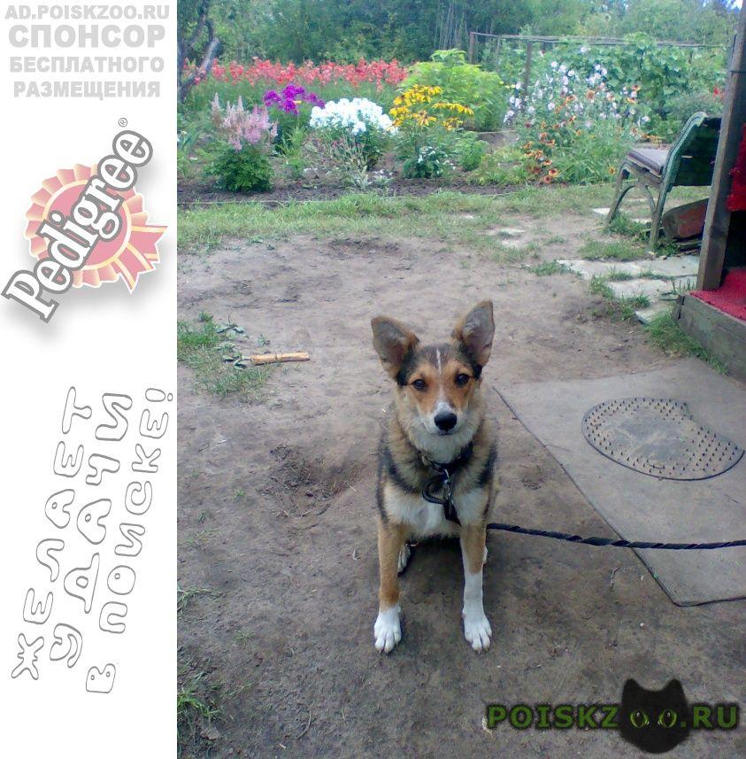 Пропала собака найда г.Ковров