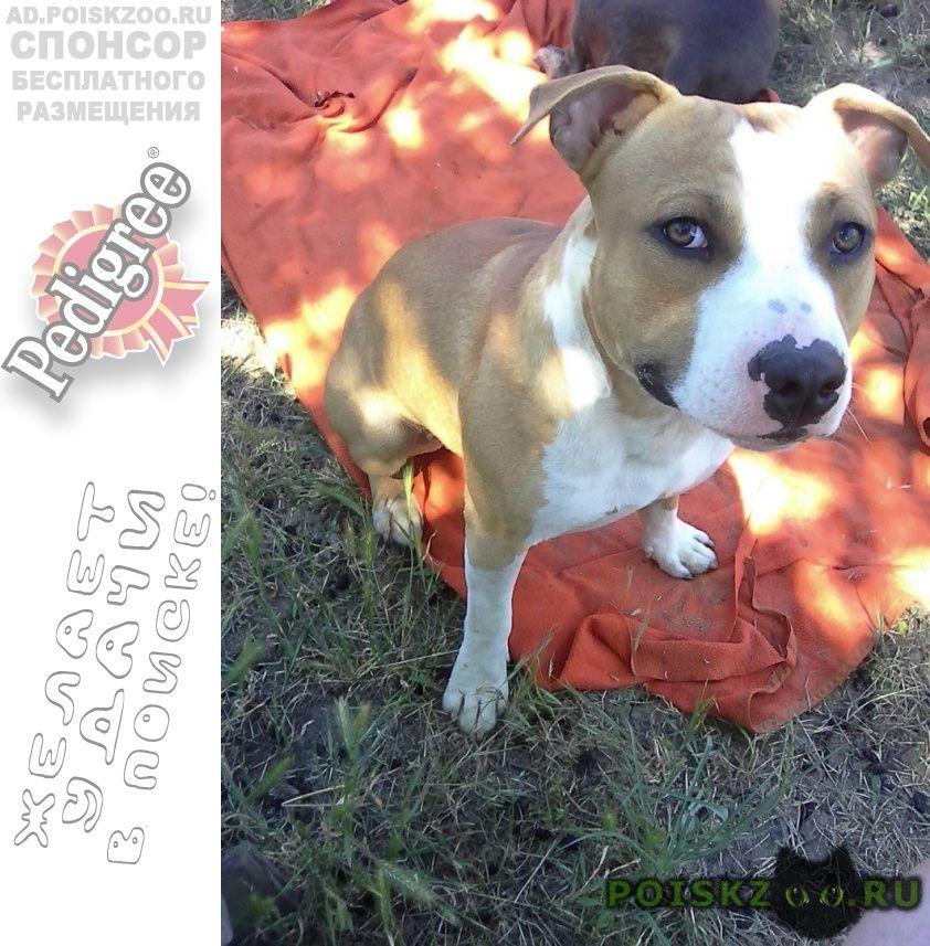 Пропала собака кобель стаффордширский терьер г.Батайск