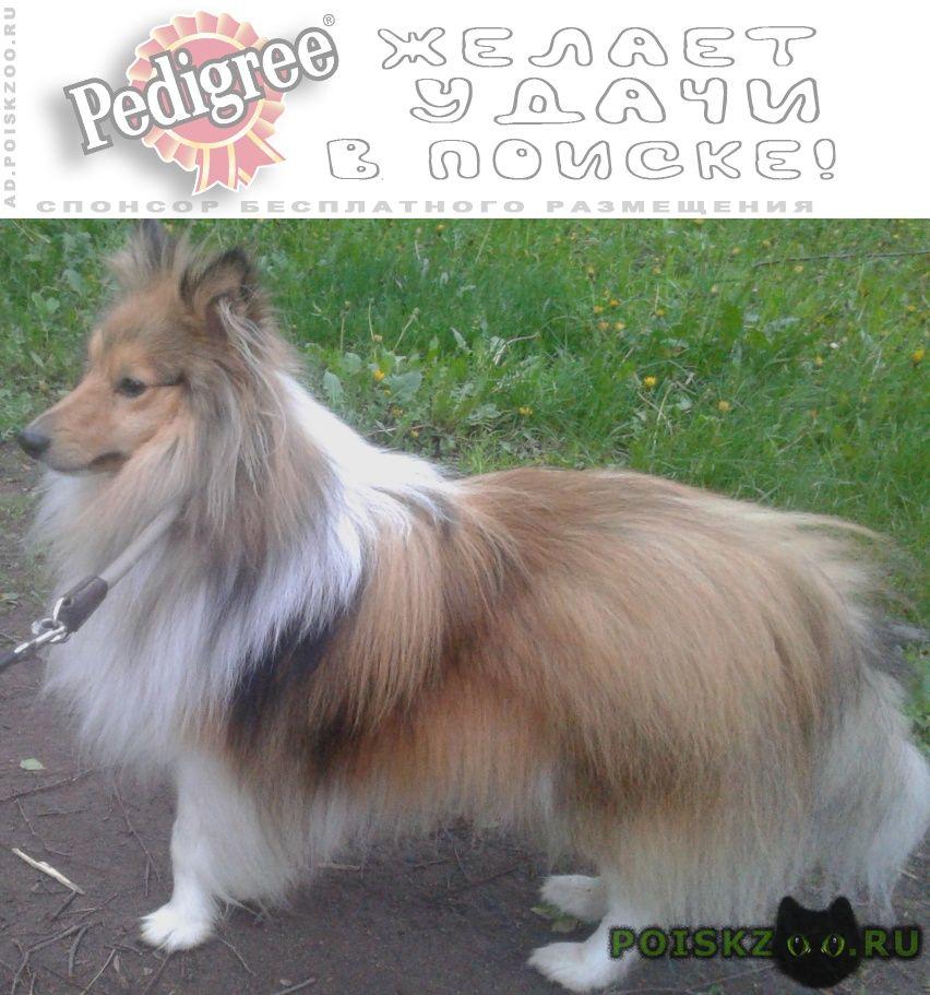 Пропала собака кобель рыже-белый шелти г.Москва