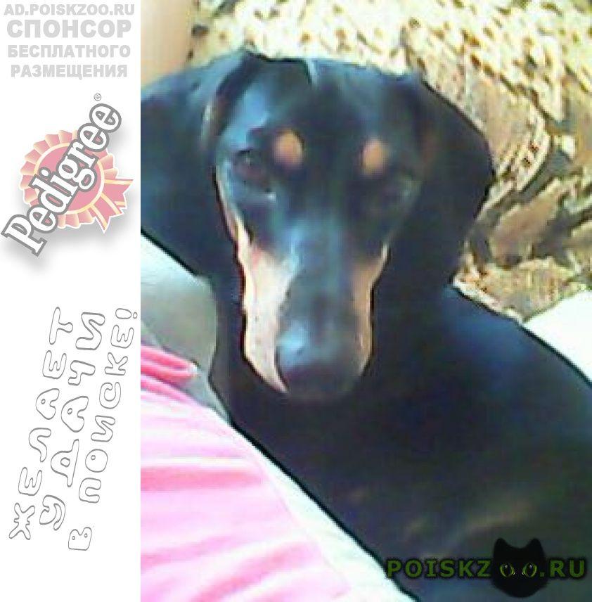 Пропала собака породы такса г.Краснодар