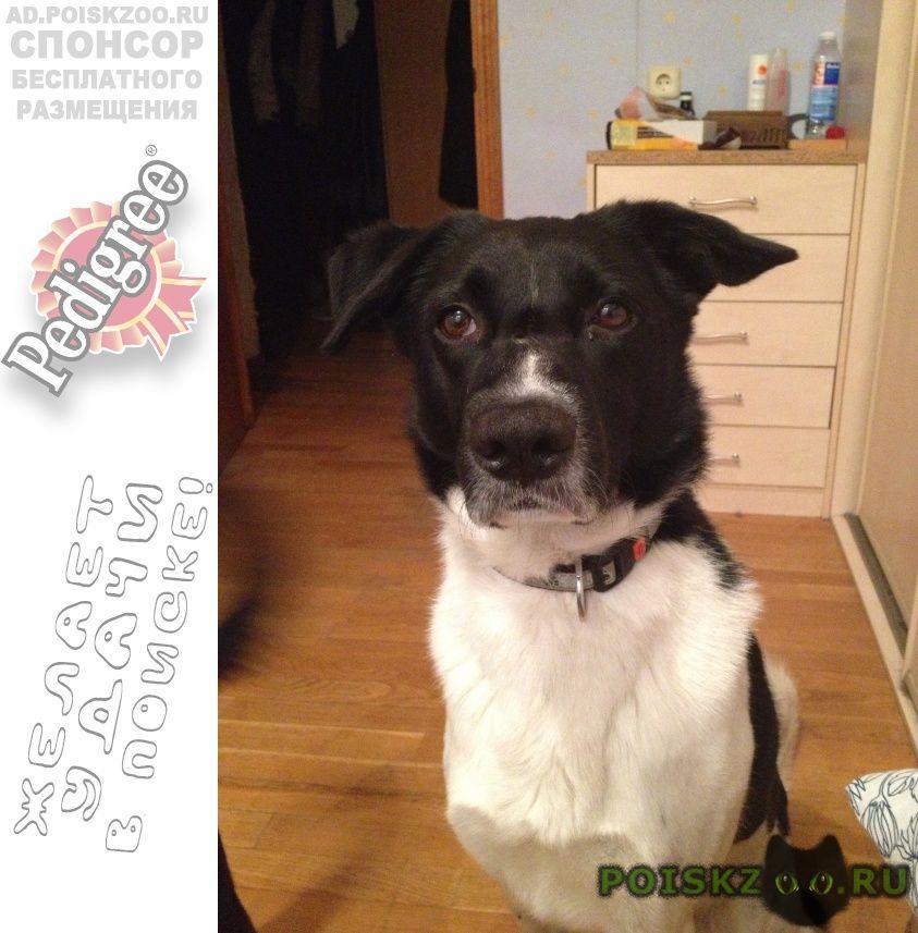 Пропала собака кобель в районе рекинцо г.Солнечногорск