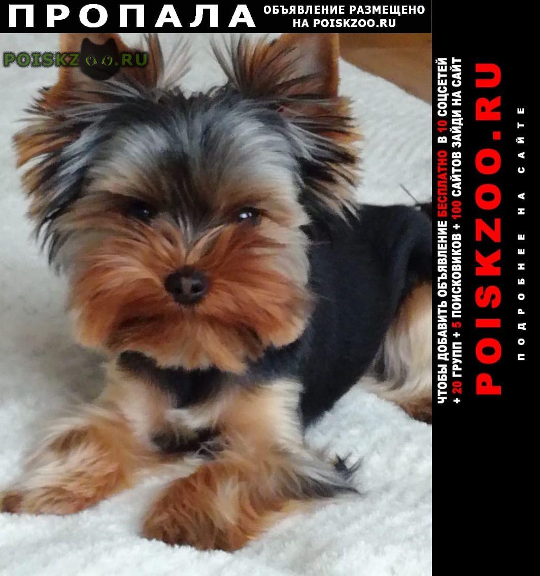 Пропала собака кобель йорк в куртке г.Щербинка