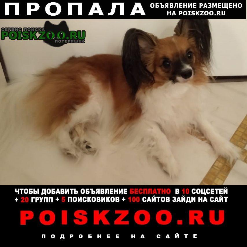 Пропала собака папильон (папийон) девочка Москва