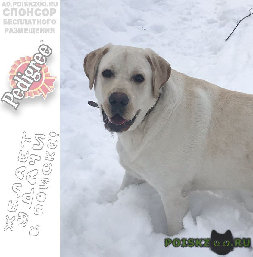 Пропала собака кобель лабрадор г.Троицк