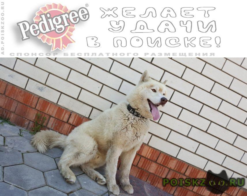 Пропала собака кобель хаски г.Балаково