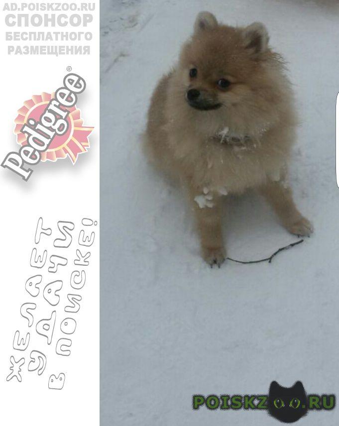 Пропала собака щенок шпица в крылатском г.Москва