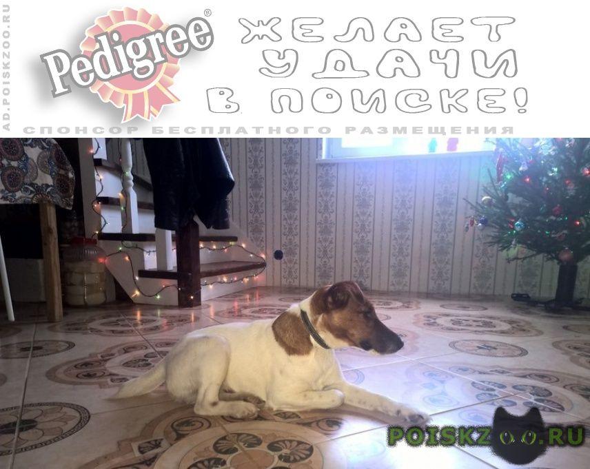 Пропала собака кобель фокстерьер 13.03.2018 г.Чехов