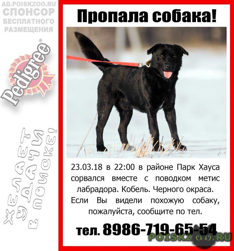 Пропала собака кобель метис лабрадора г.Казань