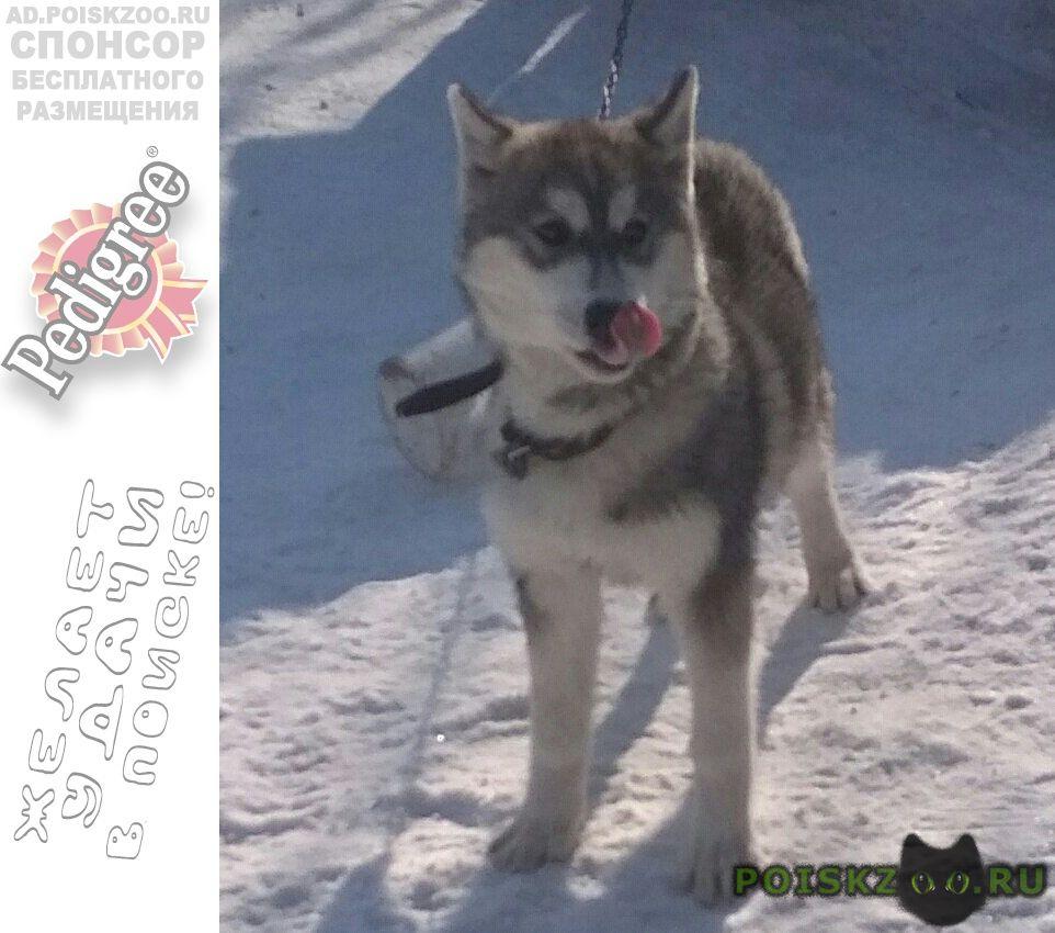 Пропала собака хаски-подросток г.Курск
