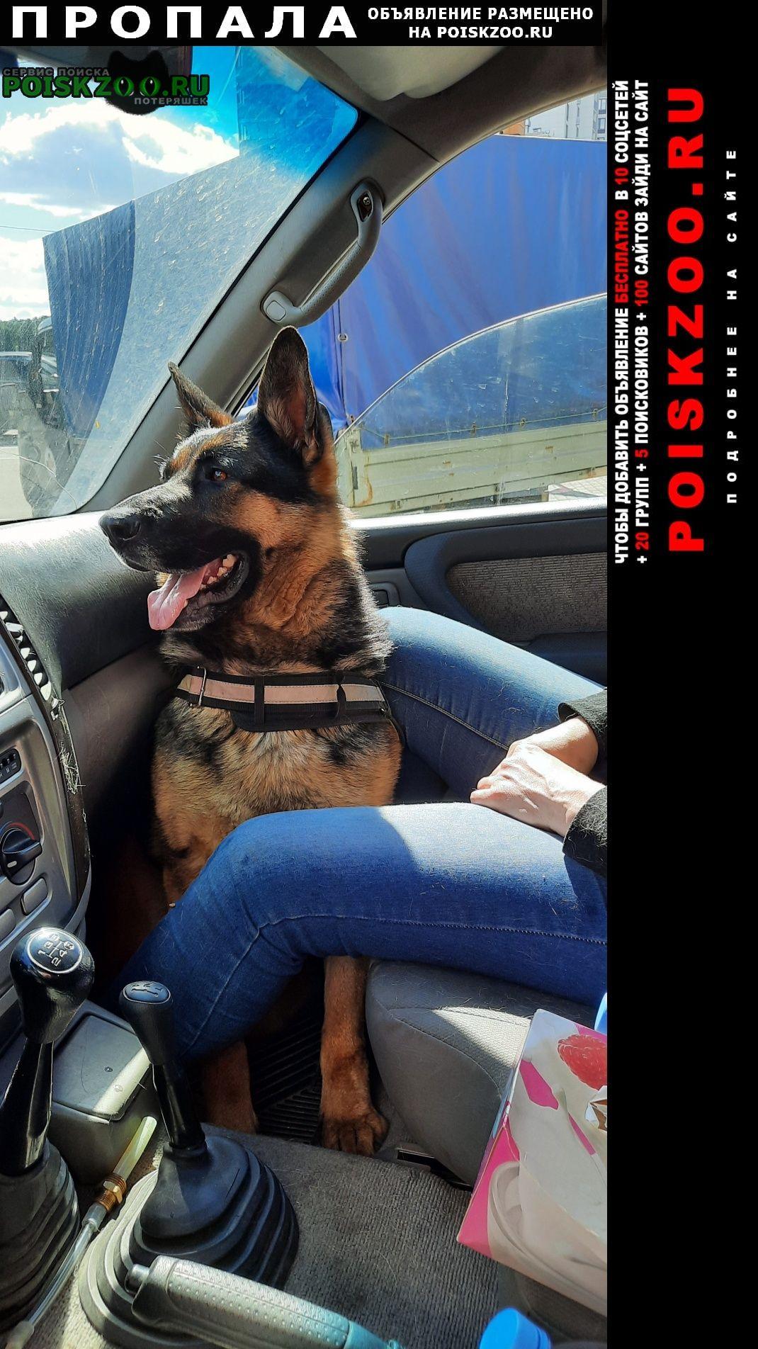Пропала собака немецкая овчарка 2 года кличка чара Пироговский