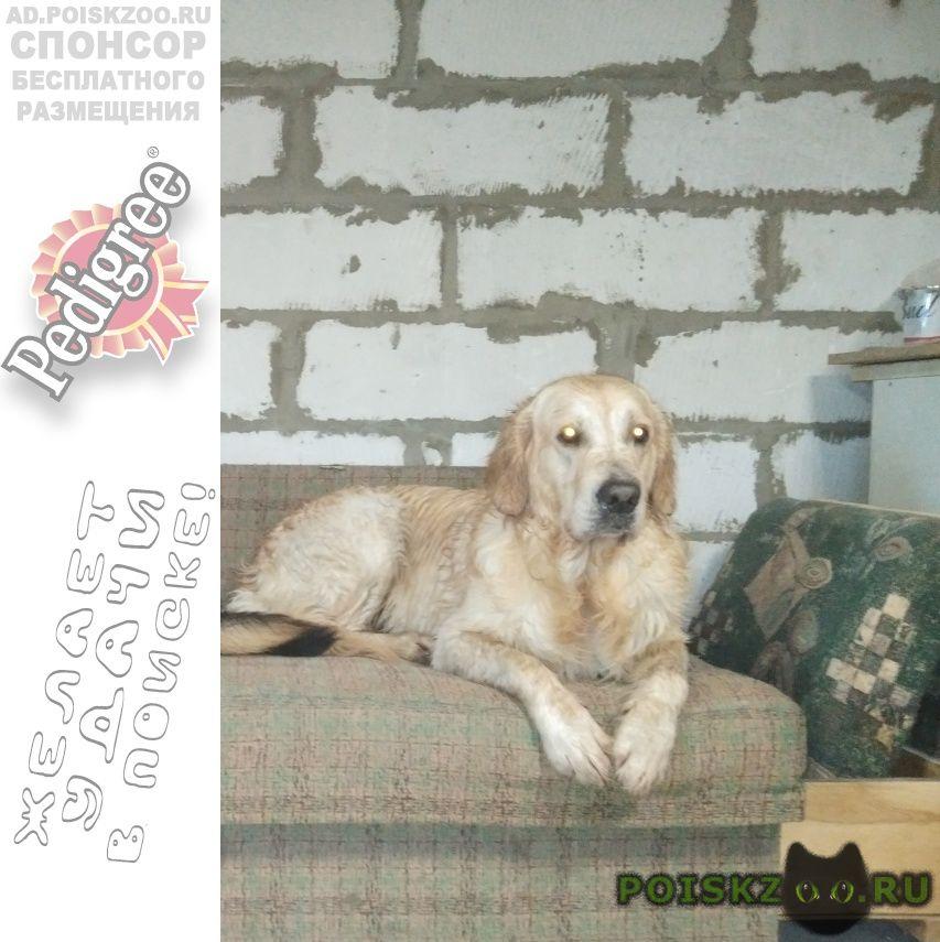 Пропала собака кобель голден ретривер г.Орел