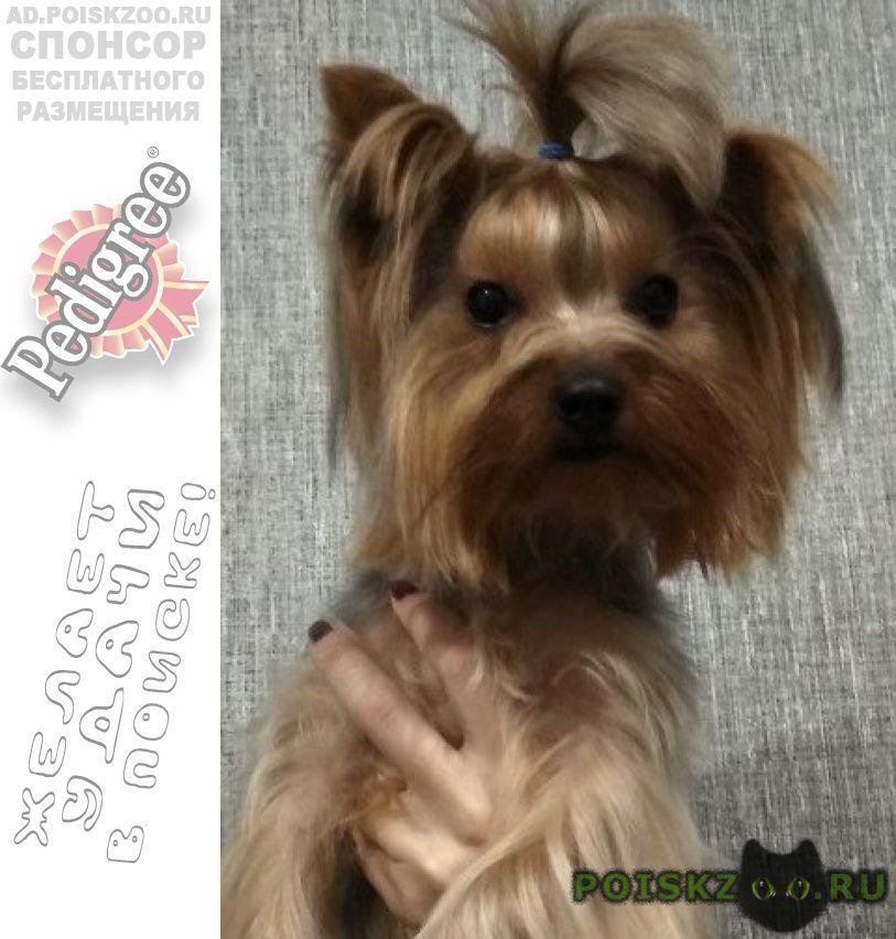 Пропала собака йоркширский терьер, девочка г.Нижний Новгород