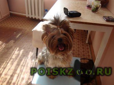 Пропала собака йоркширский терьер девочка 4 года г.Ладушкин