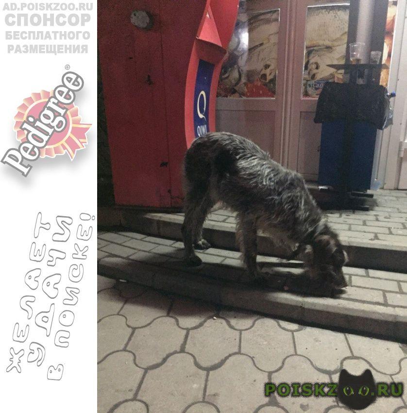 Пропала собака дратхаар девочка г.Батайск