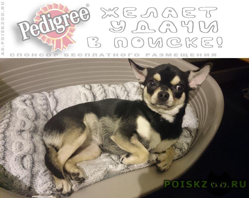 Пропала собака чихуахуа г.Челябинск
