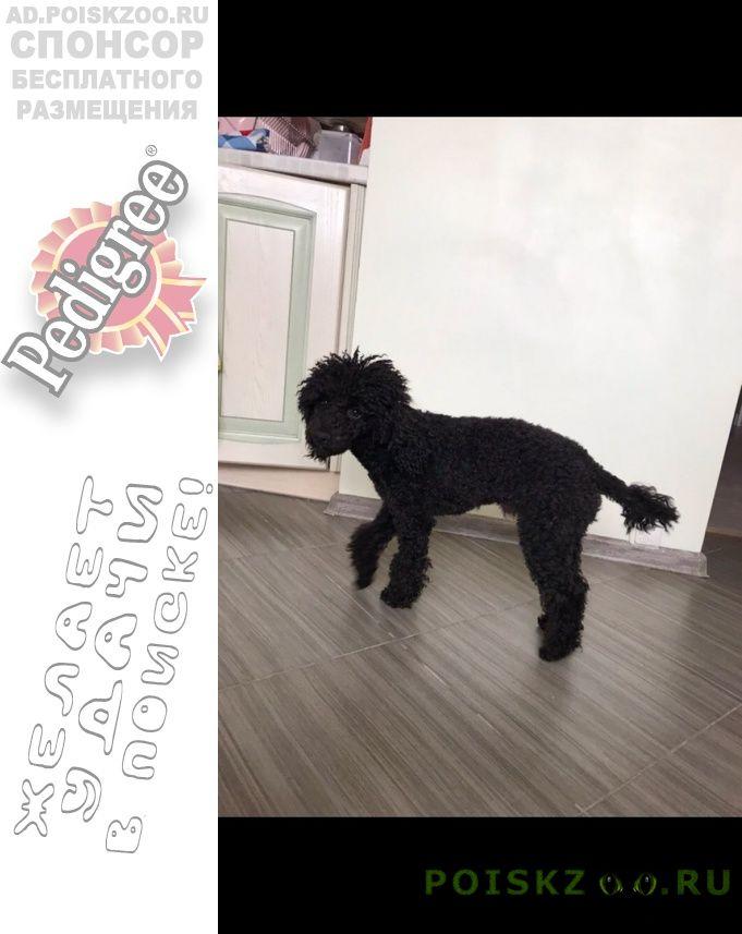 Пропала собака кобель пудель г.Москва