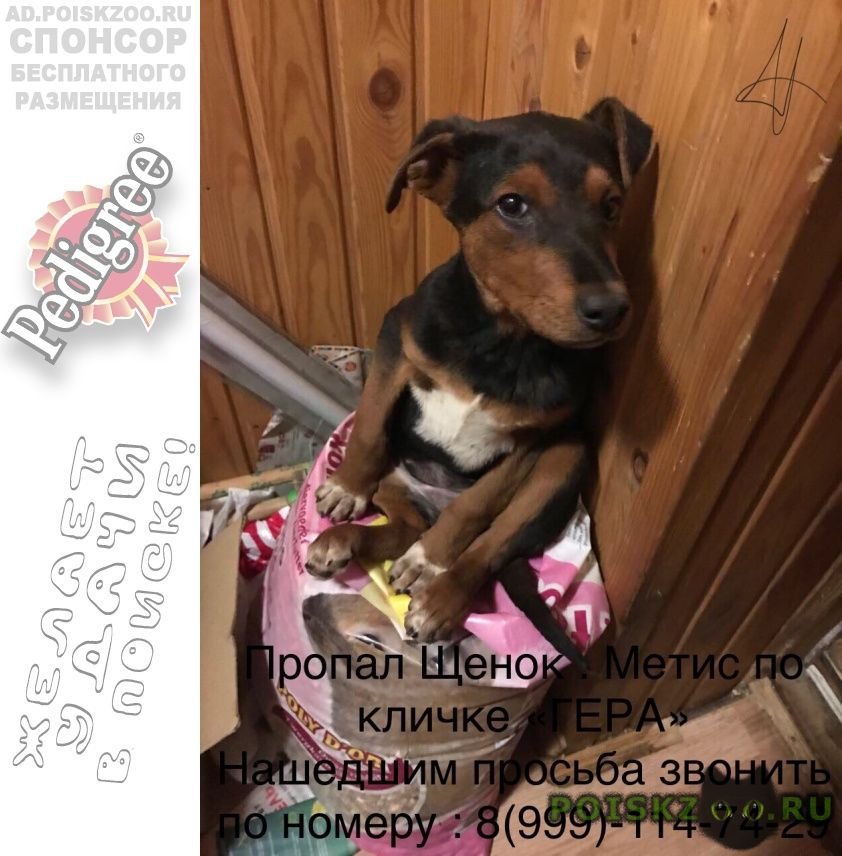 Пропала собака выходит ночью, т.к. подобрали недавно г.Ильинский (Московская обл.)