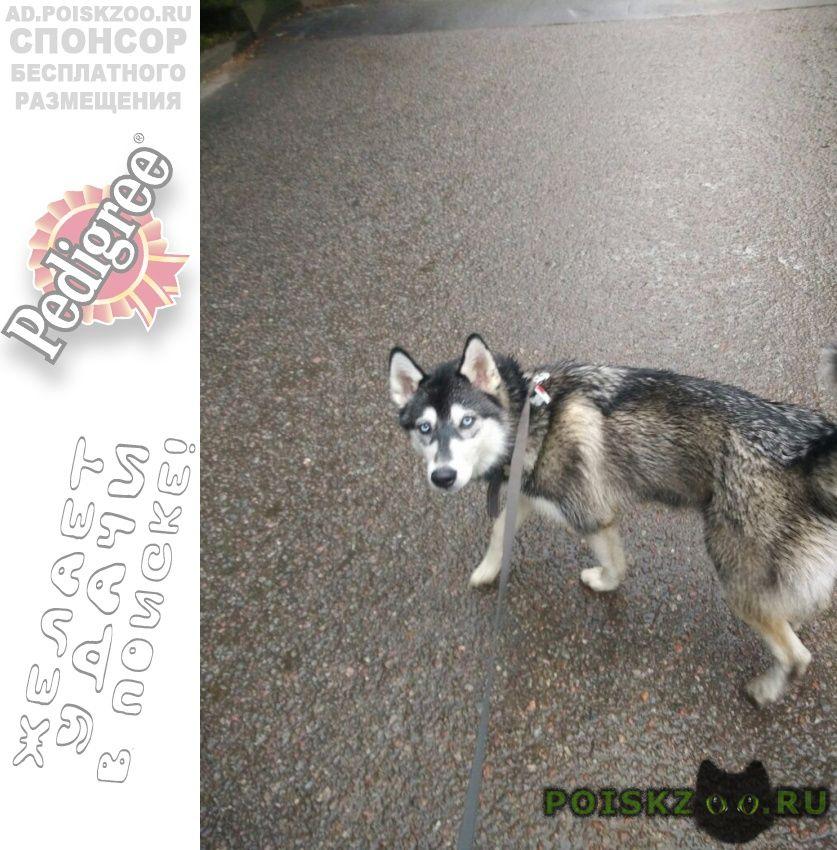 Пропала собака сучка хаски кличка руна г.Малаховка