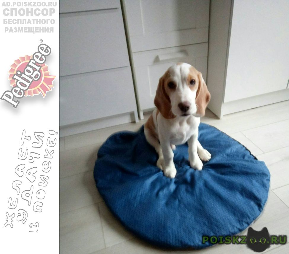 Пропала собака кобель бигля  г.Электрогорск