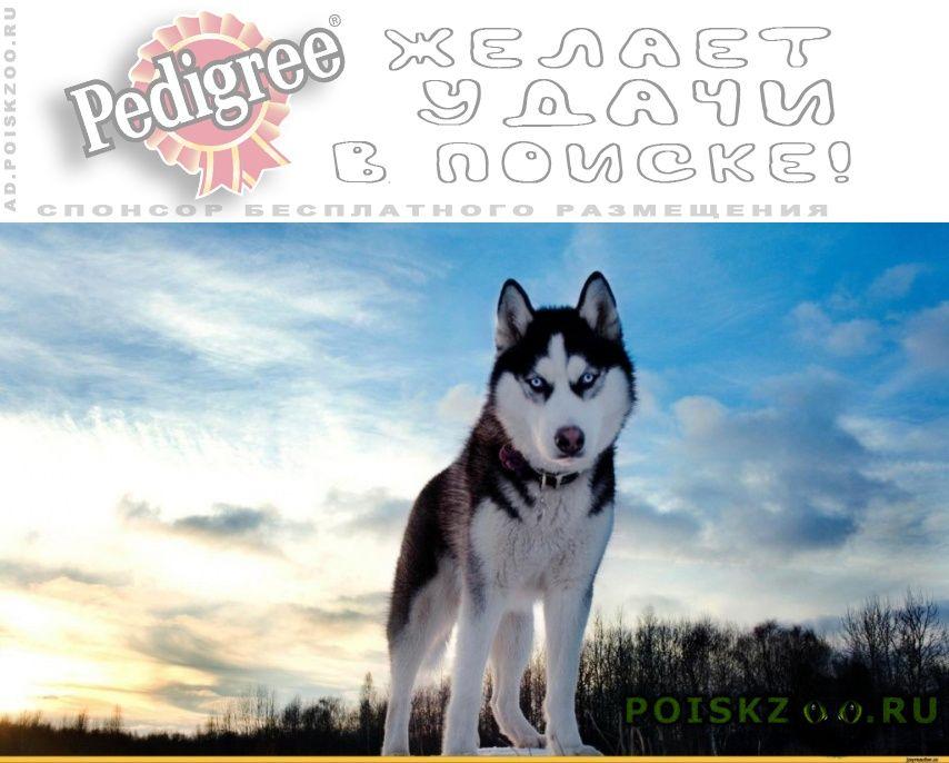 Пропала собака кобель сибирский хаски г.Иваново