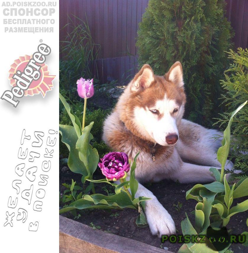 Пропала собака хаски окрас рыжий с белым г.Краснодар