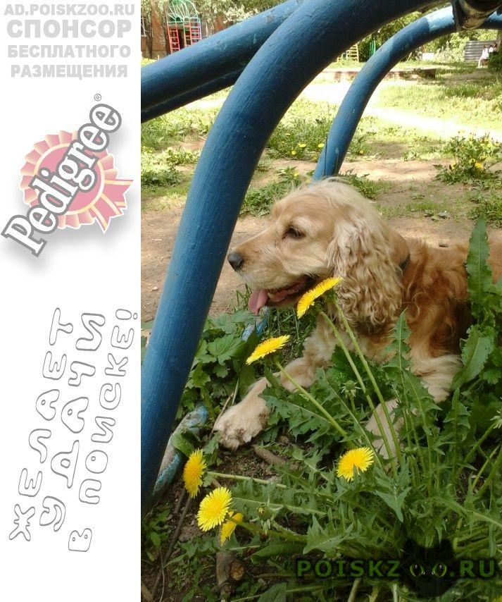 Пропала собака кобель кокер спаниель. г.Нарофоминск