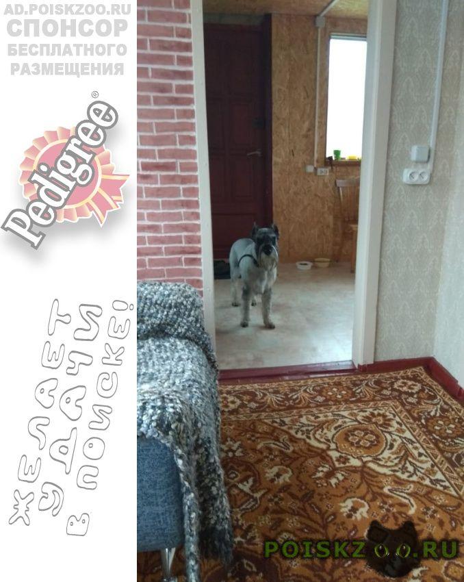 Пропала собака кобель миттельшнауцер г.Новосибирск