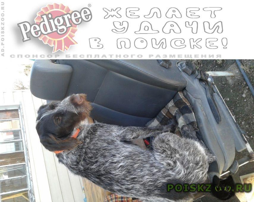 Пропала собака дратхаар девочка г.Колюбакино