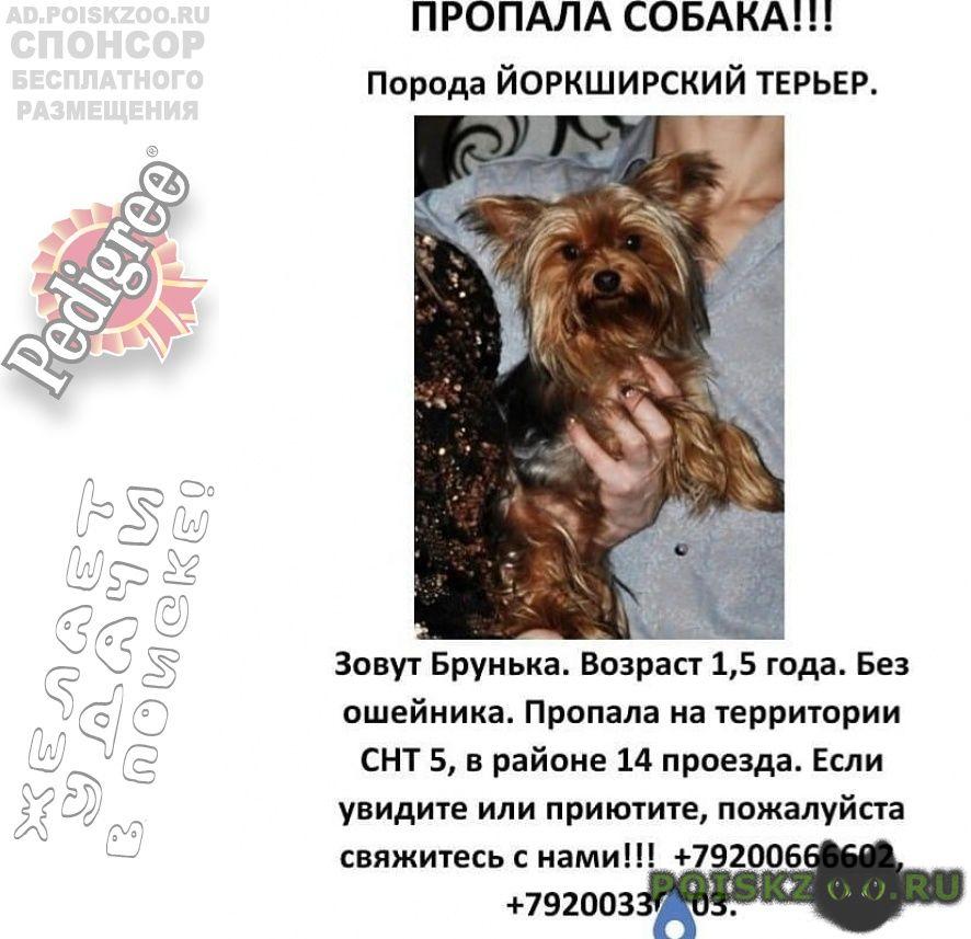 Пропала собака йоркширский терьер г.Нижний Новгород