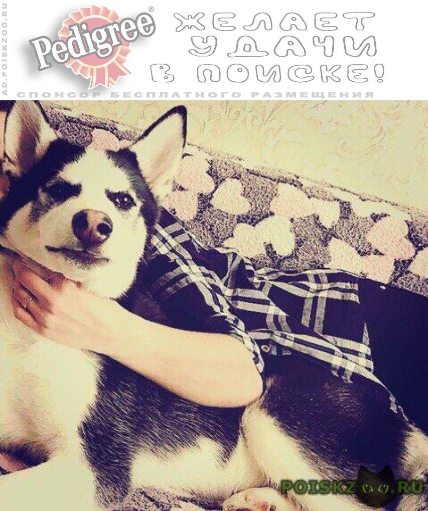Пропала собака кобель любимец семьи г.Шентала