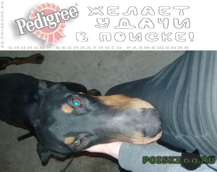 Пропала собака кобель доберман г.Ставрополь