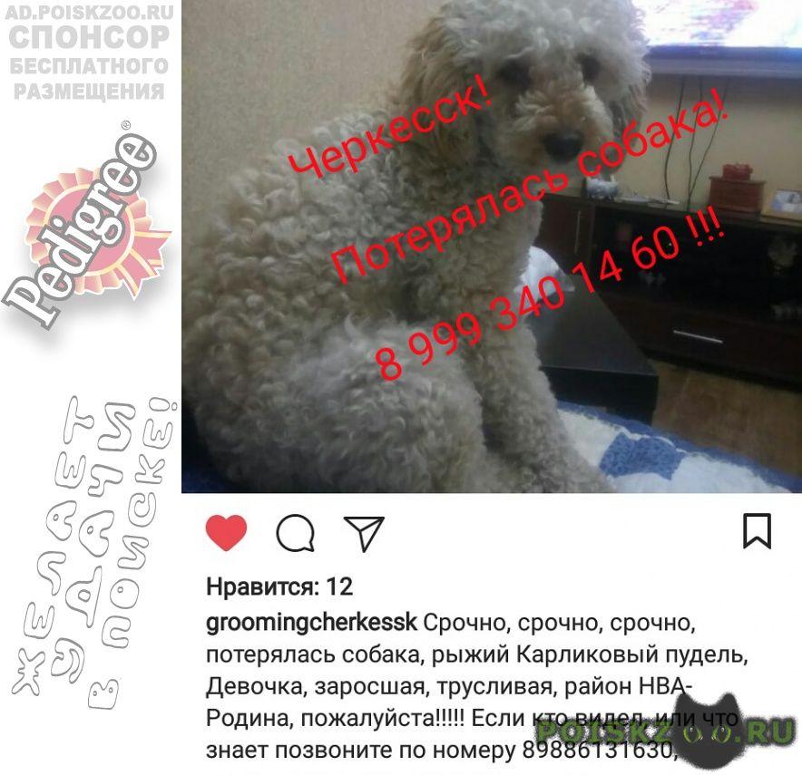 Пропала собака г.Черкесск Карачаево-Черкесская Республика