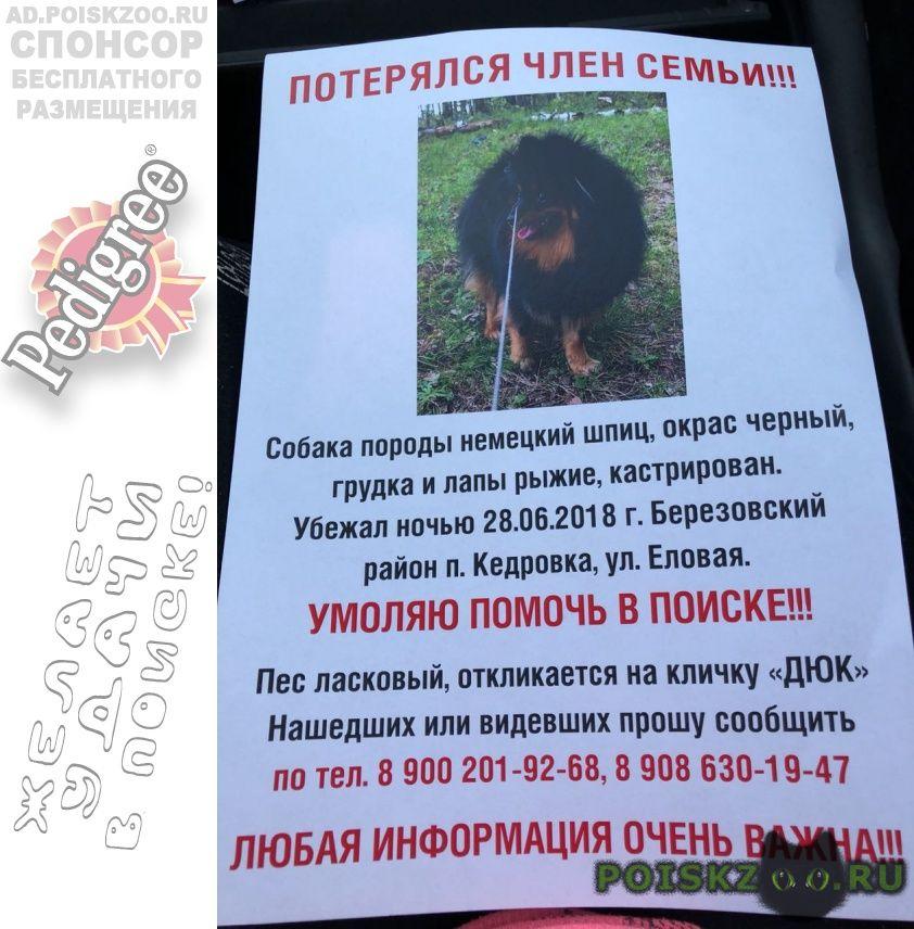 Пропала собака кобель кедровка  березовский округ г.Екатеринбург