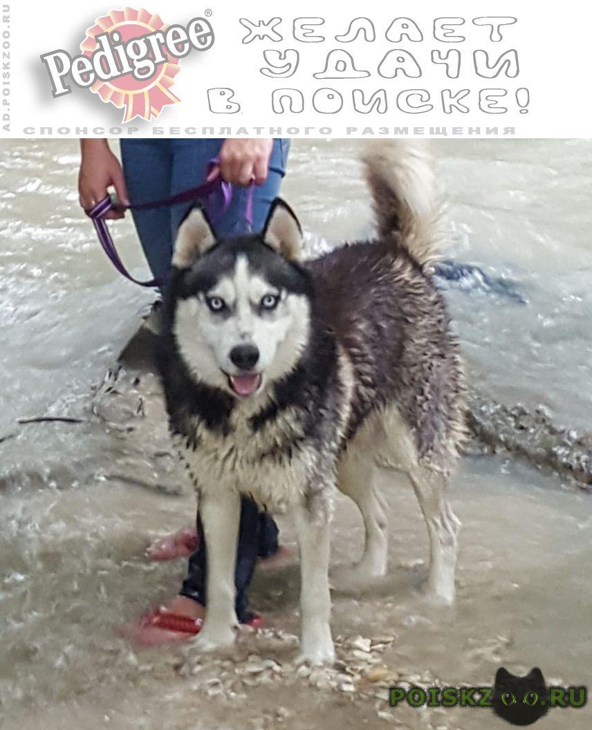 Пропала собака кобель хаски г.Пятигорск