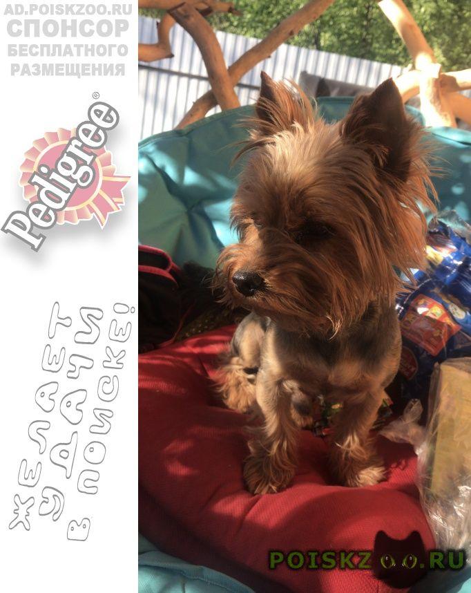 Пропала собака кобель йоркширский терьер г.Санкт-Петербург