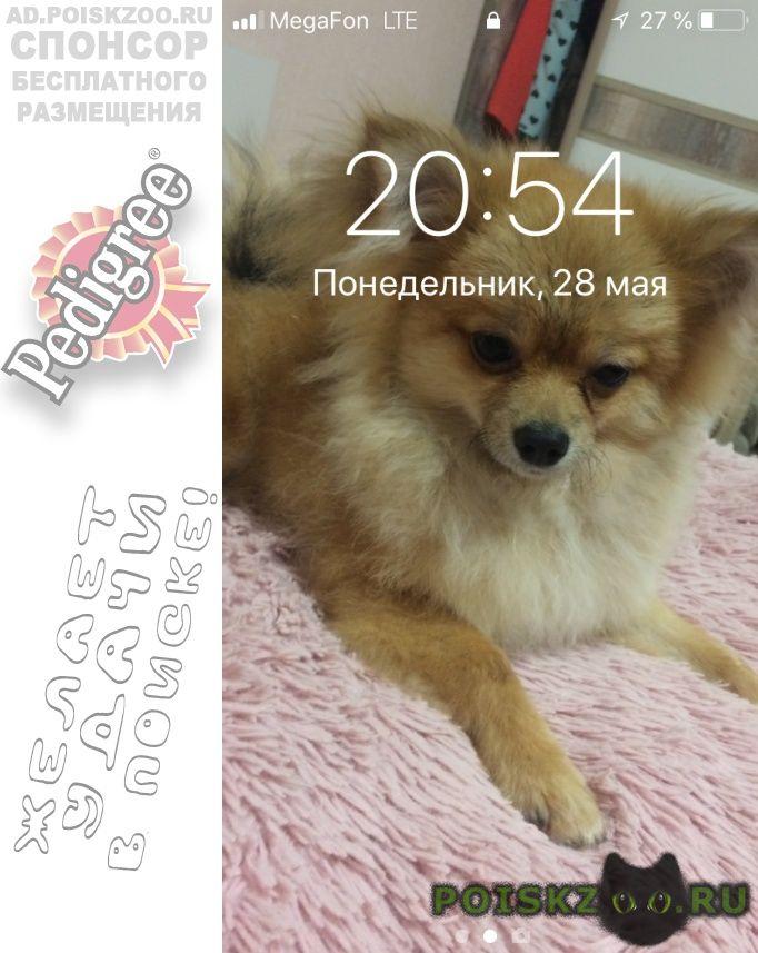 Пропала собака кобель шпиц  г.Челябинск